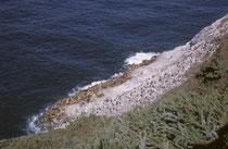 Die Sea Lions Caves an der Route 101 in der Nähe von Florence Oregon. Wenn man von oben hinunter zur Küste schaut sieht man die grosse, einzige Kolonie von Stellerschen Seelöwen (Eumetopias jubatus) auf dem amerikanischen Festland.