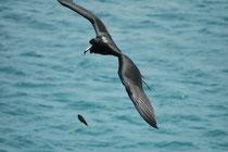 Der Prachtfregattvogel (Fregata magnificens) hat eine Flügelspannweite von 217 bis 229 cm und ein Gewicht von nur 1,1 bis 1,6 kg. Dadurch ist er sehr manövrierfähig und wird zu einem echten Luftakrobaten. Hier auf dem Weg zur Post Office Bay (Floreana).