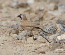 Auf der Fahrt von Aqaba nach Dana entdeckten wir in den Felswänden Chukarhühner, und auf dem trockenen Boden des Hochplateaus bei al-Hashimyya auch eine Saharaohrenlerche (Eremophila alpestris), die sich zu Fuss ausserordentlich geschickt bewegte.