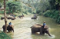 Elephant Conservation Center Chiang Mai. Die AsiatischenElefanten nehmen ihr tägliches Bad.