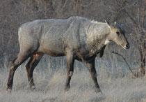 Mit einer Schulterhöhe von 140 cm und einem Gewicht von 300 kg ist die Nilgauantilope (Boselaphus tragocamelus), eine imposante Erscheinung. Die Männchen tragen ca. 20 cm lange spiessartige Hörner. Beeindruckend ist auch der bläulichen Schimmer im Fell.