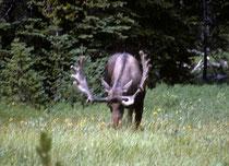 """Um allerdings einem Elch, der englisch """"moose"""" genannt wird, praktisch Aug' in Auge sehen zu können, braucht es noch etwas mehr Glück. Offenbar hat die Population im Park aus verschiedenen Gründen in den letzten 40 Jahren auf unter 500 abgenommen."""