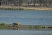 """Sorgfältig, aber sicher setzt sie einen Fuss vor den anderen auf ihrem Weg zu """"ihrer"""" Insel. Im Ranthambore Tiger Reserve kennt man praktisch jeden Tiger individuell. Man gibt ihnen eine persönlichen Code (Txx)  und eventuell einen persönlichen Namen."""