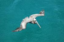 """Die Jungtiere des """"Braunen Pelikans"""" haben in der Tat ein braunes Gefieder. Bis zum Alter von 3 bis 5 Jahren ändert sich die Färbung des Gefieders sowie anderer Körperteile der Tiere grundlegend und variiert zudem im Verlauf des Jahres markant."""