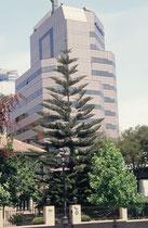 Die Chilenische Araukarie, hier mitten in Santiago, ist ein immergrüner Baum aus der Familie der Araukariengewächse. Die meisten Arten kommen in Australien, Neukaledonien, Neuguinea und der Norfolkinsel vor, aber es gibt auch eine Art in Chile/Argentinien