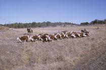 Auch hier war es bitterkalt, obwohl kein Schnee liegt. Die Rinder bleiben stets im Freien (oft mit Schnee auf dem Rücken) und werden gelegentlich dort gefüttert. Gelegentlich werden sie von Cowboys zusammen- und auf eine andere Weidefläche getrieben.