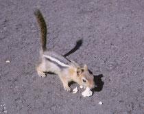 Auf dem Lavagelände gab es viele Golden-Mantled Ground-Squirrels (Goldmantel-Ziesel, Callospermophilus lateralis). Sie sind ca. 23-30 cm gross und unterscheiden sich von den kleineren Streifenhörnchen (Chipmunks) u.a. durch das Fehlen der Gesichtsstreifen
