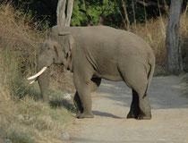 Und dann stand er leibhaftig vor uns: Ein mächtiger Asiatischer Elefantenbulle (Elephas maximus indicus). Ein Blick genügte um festzustellen, dass der Elefant in Musth war. Auf den Wangen war die Rinnspur des flüssigen Schläfendrüsensekrets sichtbar.