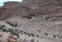 Im Wadi Dana stiessen wir immer wieder auf Behausungen der nomadisierenden Beduinen: Langgestreckte, schwarze oder braune Zelte, gefertigt aus dunklem Ziegenhaar (Beit esh-Shaar = Haus aus Haaren). Die Zelte öffnen sich meist nach Süden (gegen Mekka)