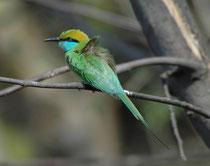 Von einer Sitzwarte aus jagt der Smaragdspint Insekten (Bienen, Wespen und Ameisen) im Flug. Während die monogame Art in Afrika alleinstehende bis zu 2 m lange Bruthöhlen in Sandbänke gräbt, brütet er in Indien auch in Kolonien mit bis zu 30 Brutpaaren.