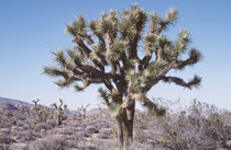 Mormonen, die einst die Mojave-Wüste durchquerten, gaben dem Joshua Tree Park seinen Namen. Sie erkannten in den Bäumen die Gestalt des Propheten Joshua (Josua), der mit ausgestreckten Armen den Israeliten den Weg ins gelobte Land wies