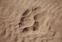 Die Guides gingen nicht nur vorne, um den Weg zu weisen (wir hätten uns hoffnungslos verirrt), sondern auch, um nach gefährlichen oder sonst spannenden Dingen Ausschau zu halten, wie z.B. der frischen Spur eines Löwen (Laufrichtung von links nach rechts).