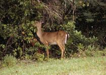 In den USA gibt es keine Rehe, aber – neben dem Wapiti - zwei kleinere Hirscharten: Den Maultierhirsch (Odocoileus hemionus ) eher im Westen und den hier fotografierten Weisswedelhirsch (Odocoileus virginianus), die häufigste Hirschart Nordamerikas.