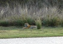 """Bei diesem Tiger handelte es sich um den 3-jährigen """"Alphonso"""" (T91). Er befand sich eigentlich in der Home-Range von """"Arrowhead"""", was nicht aussergewöhnlich ist. Männchen haben grössere Territorien, die sich mit denjenigen mehrerer Weibchen überlappen."""