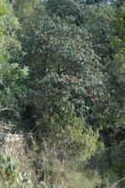 Immer wieder sahen wir sie: Wilde Rhododendronpflanzen und zwar in Form richtiger, prächtiger Bäume. Rhododendron arboretum, der Baumrhododendron, wie die Art heist (auch Burans oder Gurans genannt), ist immergrün mit leuchtend roten Blüten.