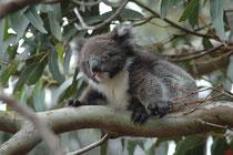 Koalas waren ursprünglich in Australien weit verbreitet, wurden aber wegen ihres Fells in vielen Gebieten ausgerottet. Auf  Kangaroo Island, wo der Koala ursprünglich nicht beheimatet war wurde er jedoch angesiedelt.