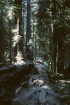 Redwoods haben im Alter so dichte Baumkronen, dass kaum Sonnenlicht durchdringt. Ihre enorme Grösse ist deshalb schwierig zu fotografieren. Sie kommt erst bei umgestürzten Baumgiganten zur Geltung, die sich wie erhöhte Wege durch das Dickicht ziehen.