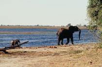 Es gelang dem Bullen schliesslich das Kalb zu veranlassen, aus dem Wasser zu kommen und ihm zurück zur Herde zu folgen.