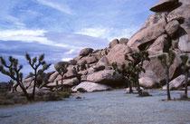 """Der Park ist nach der auffälligen Josua-Palmlilie (Yucca brevifolia), engl. """"Joshua Tree"""" benant. Sie kann bis 18 Meter hoch und bis zu 900 Jahre alt werden und ist damit die grössten Art der Gattung der Palmlilien (Yucca)."""