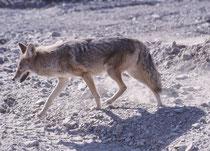Der Kojote zog dann ruhig weiter. Obwohl Kojoten tatsächlich auch von Aas leben, bestehen 90% der Nahrung aus selbst erlegten Mäusen und Hasen. Seltener werden - neben pflanzlicher Nahrung - Vögel, Schlangen, Füchse, oder Opossums  gefressen.