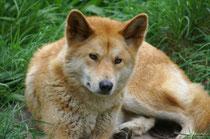 Der Dingo (Canis lupus dingo) wurde sehr wahrscheinlich als Begleiter von Menschen vor ca. 4000 Jahren in Australien eingeführt. Heute lebt er in vielen Teilen seines Verbreitungsgebietes vom Menschen völlig unabhängig. (Foto: S. Althaus im Cleland Park).