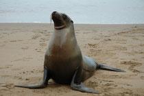 Der Galápagos-Seelöwe (Zalophus wollebaeki) ist allein auf dem Galapagos-Archipel heimisch. Die endemische und standorttreue Population umfasst ca. 50.000 Tiere. Sie ähneln dem kalifornischen Seelöwen, aber die Schnauze ist länglicher und spitzer.