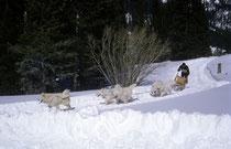 Ich lernte in Colorado, dass es mehrere Schlittenhunderassen gibt. Nämlich den Siberian Husky (auf den beiden ersten Bildern), den Samojeden (hier im Bild) und den Alaskan Malamuten. Verliebt habe ich mich in den Siberian Husky.