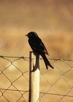 Trauerdrongo (Dicrurus adsimilis) im Camp in Maun. Diese Vögel können Warnrufe anderer Arten imitieren, worauf z.B. Erdmännchen Deckung suchen und ihre Beute fallen lassen, die anschliessend von den Trauerdrongos aufgesammelt wird.