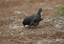 Zu den ersten Tieren, die wir vor dem Flughafen Baltra begegneten, gehörten auch Vertreter der Galapagos- oder Darwinfinken (Geospizinae): 14 sehr eng verwandte Arten mit unterschiedlicher Lebens- und Ernährungsweise (unterschiedliche Schnabelformen !).