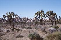 """Der Name des Parks komt von der auffälligen, im Englischen """"Joshua Tree"""" genannten Josua-Palmlilie (Yucca brevifolia), der grössten Art der Gattung der Palmlilien (Yucca), die auch Josuabaum genannt wird."""