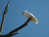 Mit. Einer N-S-Ausdehnung von etwa 5000 km und einer O-W-Ausdehnung von ca. 4000 km hat die Art ein extrem grosses Verbreitungsgebiet. Der Verbreitungsschwerpunkt des 50 cm grossen Gelbhaubenkakadus (Cacatua galerita) liegt jedoch im Südosten Australiens.