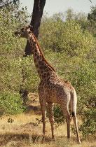 Das nördliche Botswana (inkl. Moremi) gehört zum Verbreitungsgebiet der Südafrikanischen Giraffe (Giraffa camelopardis giraffa). Da deren charakteristische Fleckenzeichnung oft durch individuelle Unterschiede überlagert ist, wird die Bestimmung schwierig.