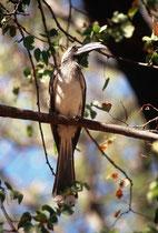 Grautoko (Tokus nasutus). Im Gegensatz zu vielen anderen Tokoarten halten sich die Grautokos meist in Bäumen auf und fliegen nur selten zu Boden. (Moremi)