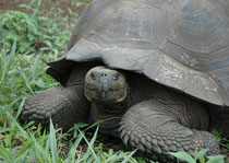 """Die Tiere bevorzugen Zonen mit üppiger Vegetation. In regenfeuchten, Regionen (Santa Cruz) leben Unterarten mit kuppelförmigem Panzer (""""Graser""""). Auf Inseln mit spärlicher Vegetation und heissem, trockenen Klima, leben Tiere mit sattelförmigem Panzer."""