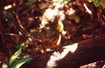 Ein Hörnchen (Art ?) in den Wäldern des Vulkans Poas.