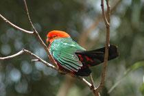 Das Verbreitungsgebiet des Königssittichs beschränkt sich auf die Küstengebiete und das daran angrenzende Bergland im Osten Australiens. Die Unterschwanzdecke ist grünlich schwarz mit breiten scharlachroten Federsäumen (für die Gattung charakteristisch).