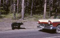 Nie werde ich unseren ersten Bären im Yellowstone NP vergessen: Er stand am Strassenrand und wenn man anhielt (was in der Wagenkolonne kaum zu vermeiden war), richtete er sich auf und schaute mit seinem riesigen Kopf durch die Scheibe ins Wageninnere.