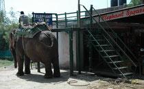 Entlang der Strasse, die zu unserem Resort führte, gab es ein paar Angebote für eine Elefantensafari. Effektiv gibt es im Verbreitungsgebiet des Asiatischen Elefanten (Elephas maximus) – neben 35000 – 55000 wilden - auch ca. 15000 zahme Arbeitselefanten.