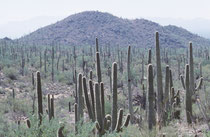 Der Kandelaberkaktus ist in de USA (Arizona sowie im S von Kalifornien)und im mexikanischen Bundesstaat Sonora in der Sonora-Wüste in Höhenlagen von 180 bis 1350 Metern verbreitet.