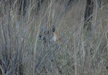 """Am 6. April morgens, also nur einen Tag nachdem wir sie """"übers Wasser"""" haben gehen sehen, und nicht weit davon, tauchte sie im hohen Gras wieder auf: """"Arrowhead"""" (T 84). Sie vermittelte den Eindruck auf Beutesuche zu sein."""