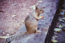 """Wir wanderten nicht durch den wasserführenden Canyon sondern kehrten zum Camp zurück.. Dabei begegneten wir diesem Fleckenziesel, engl. """"Spotted Ground Squirrel"""" (Xerospermophilus spilosoma), einem tagaktiven Allesfresser."""