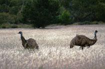 Die Nahrung der Emus besteht aus unterschiedlichen Pflanzen und Insekten. Um geeignete Nahrungsgründe zu finden, können sie lange Wanderungen unternehmen. Dabei kann die max. Laufgeschwindigkeit bis 50 km/h über längere Zeit betragen. (Foto: Sarah Althaus