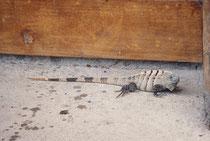 In der Carara Biological Reserve haben wir neben dieser grössere Echse (Art ?) und anderen Reptilienerten auch viele Vogelarten, Weisskopf-Kapuzineraffen , ein Gürteltier und ein Aguti gesehen und Halsbandpekaris gehört. Der Besuch lohnte sich unbedingt.