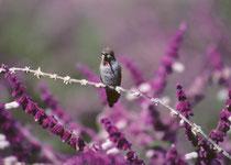 """Der Kleine Veilchenohrkolibri (Colibri thalassinus), engl. """"Green Violet-ears"""" ist zwar in Mexiko und Zentralamerika beheimatet, aber wandert in nördliche Richtung bis nach Südkalifornien. Im Garten der Mission ernährt er sich vom Nektar der Blüten."""