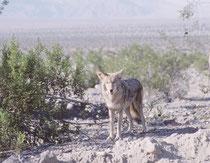 Plötzlich entdeckten wir diesen Kojoten unmittelbar am Strassenrand. Kojoten haben sich in der Tat einer Vielzahl von Habitaten angepasst und können in dichten Wäldern ebenso leben wie in der Prärie oder gar Wüstenregionen.
