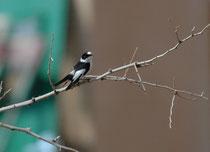 Im Dana Nationalpark wurden etwa 600 Pflanzen-, 200 Reptilien- und Säugetierarten sowie mehr als 150 Vogelarten gezählt. Hier ein Halsbandschnäpper (Picedula albicollis) unmittelbar bei der Fenyan Lodge (Dana NP).