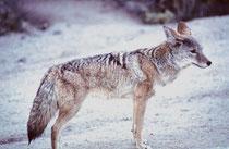 """Das Verbreitungsgebiet des Kojoten (""""Coyote"""", Canis latrans), auch bezeichnet als Präriewolf, - ursprünglich nur auf die Prärieregionen im Westen Nordamerikas begrenzt - erstreckt sich heute von Zentralamerika bis ins nördliche Kanada und Alaska."""