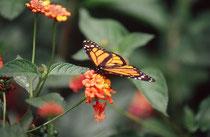 Monarchfalter (Danaus plexippus) im Butterfly Observatory beim La Paz Wasserfall.