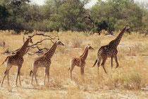 Zu dieser Giraffengruppe gehörte noch eine weitere erwachsene Kuh und wir haben uns gefragt, zu wem wohl die drei Jungtiere gehören. Vermutlich handelte es sich bei zweien davon um Zwillinge (Giraffen verständigen sich übrigens im Infraschallbereich).