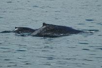 Die Fortpflanzung der Buckelwale findet in den Winterquartieren in tropischen Gewässern statt. Die Tragzeit der Weibchen beträgt etwa zwölf Monate und die Jungtiere kommen entsprechend wieder in den Fortpflanzungsgewässern zur Welt.
